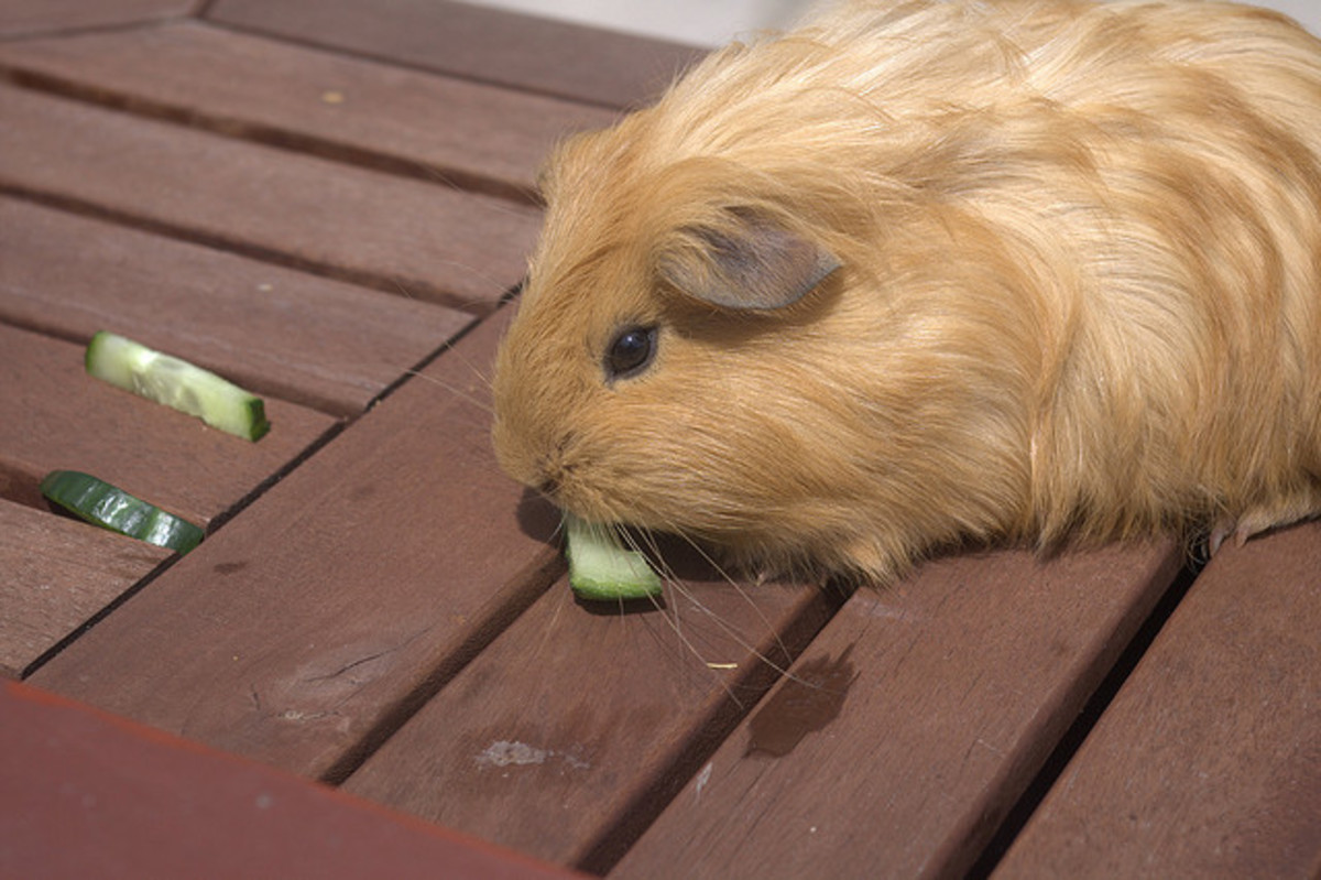 Cucumber is a great food to promote fluid intake for your guinea pig.