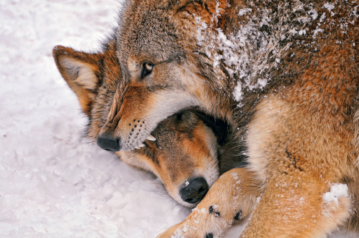 Some wolves use low-pressure, non-violent muzzle grabs to greet others of their species.