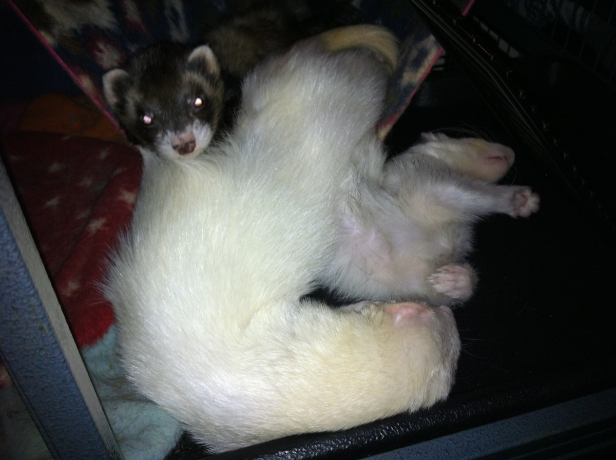 Three ferrets (Joey, Al, and King) in a hammock. They like to twist into comical sleeping positions.