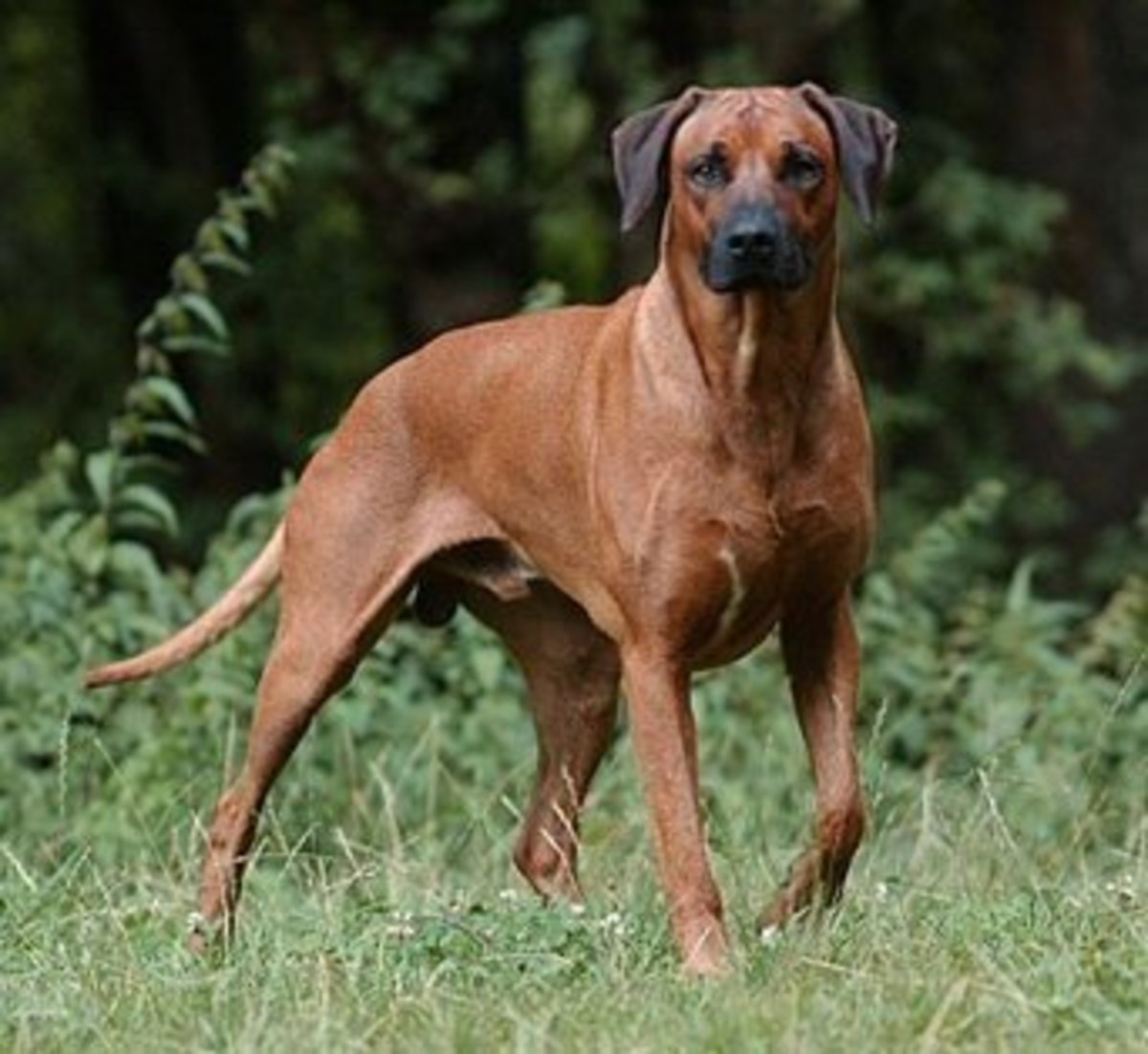 The Rhodesian Ridgeback can be overprotective and was once used to protect its masters from lions.