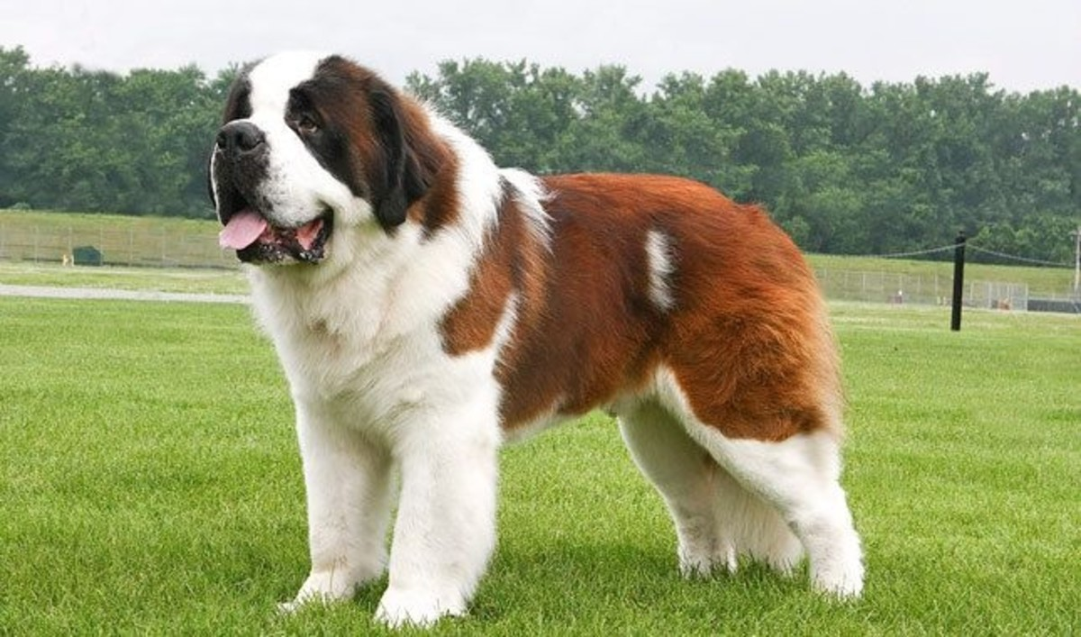 Saint Bernards can be very stubborn, difficult to train and require very early socialisation.