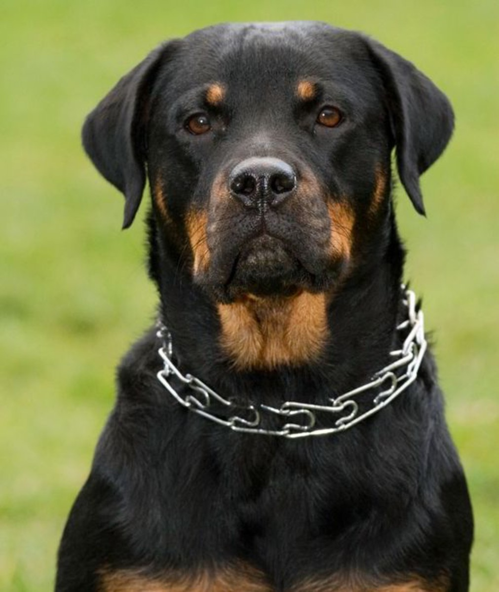 Rottweilers can be overprotective of their family and home and also have a high prey drive.