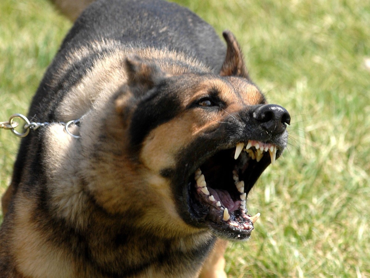 German Shepherds have been known to bite humans who have been thought of as threatening to their 'pack' or individuals who have 'intruded'.