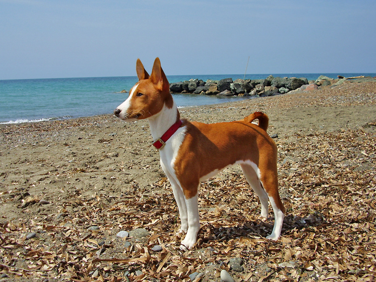 The Basenji can become aggressive towards other dogs and strangers and is exceedingly difficult to train.
