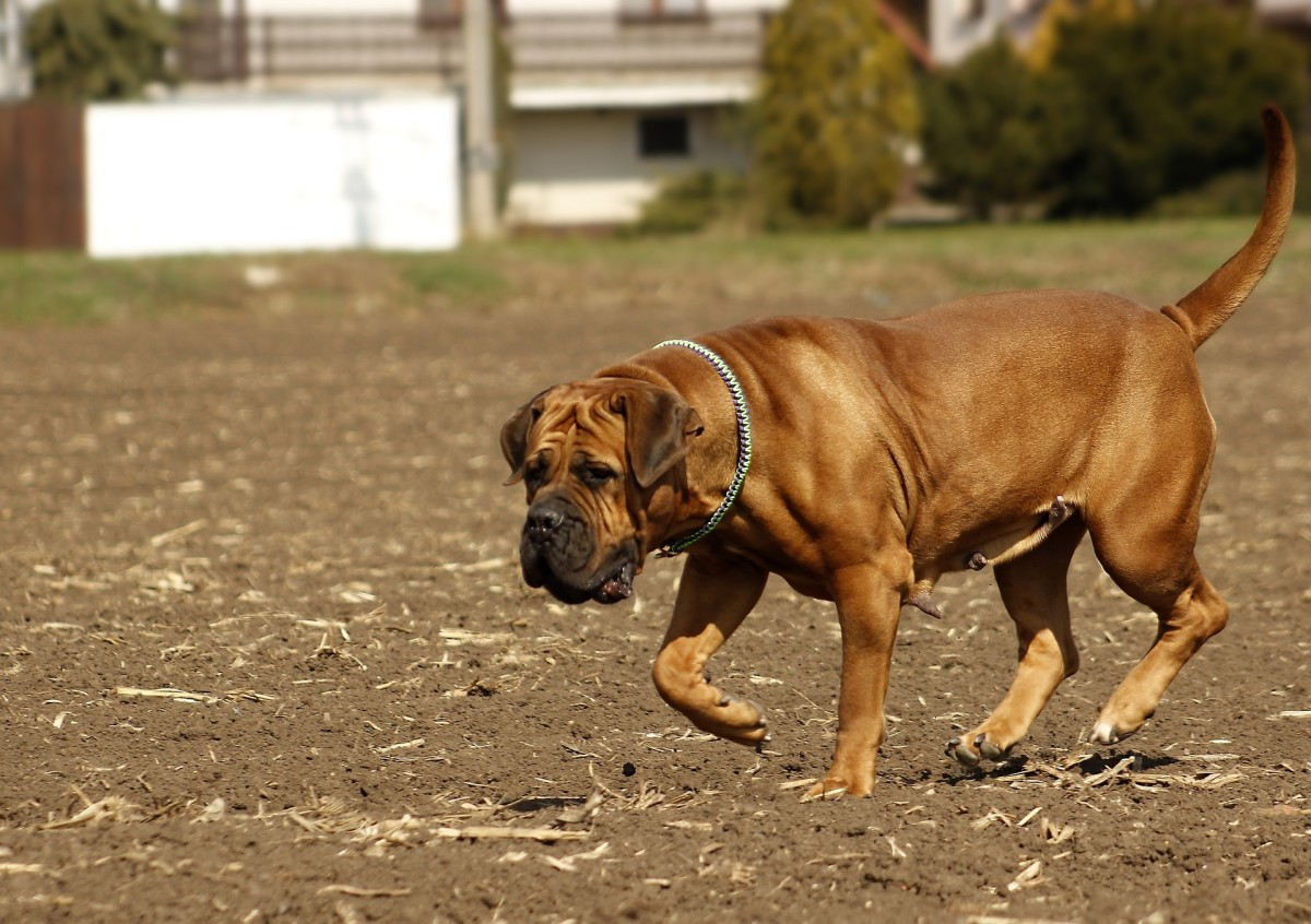 The Boerboel's loyalty to its family can make it vicious towards strangers and other dogs.