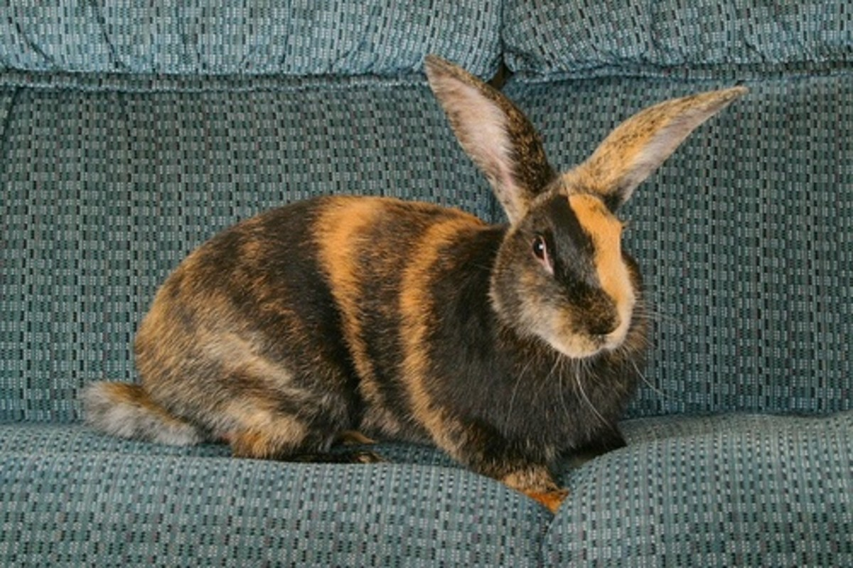 top-10-rabbit-breeds-as-pets