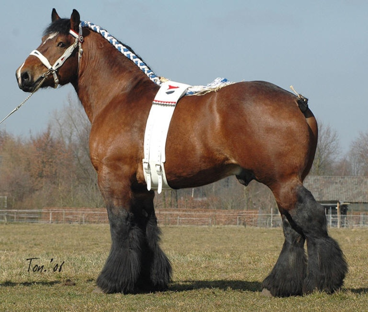 World's 10 Most Beautiful Draft Horse Breeds and Heavy ...