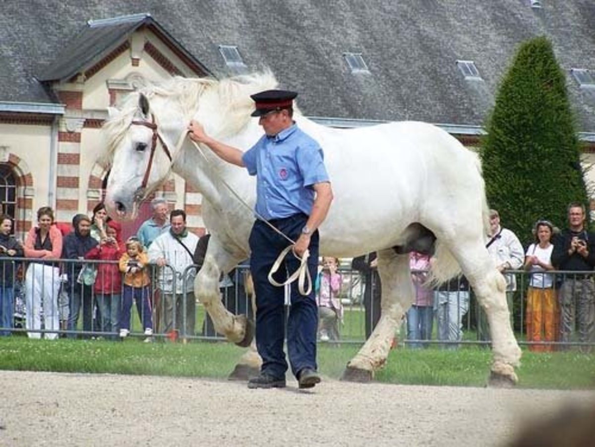top-10-heaviest-horse-breeds