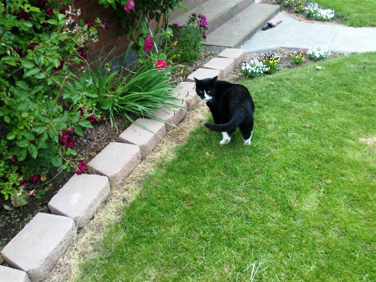 introducing husky to cat