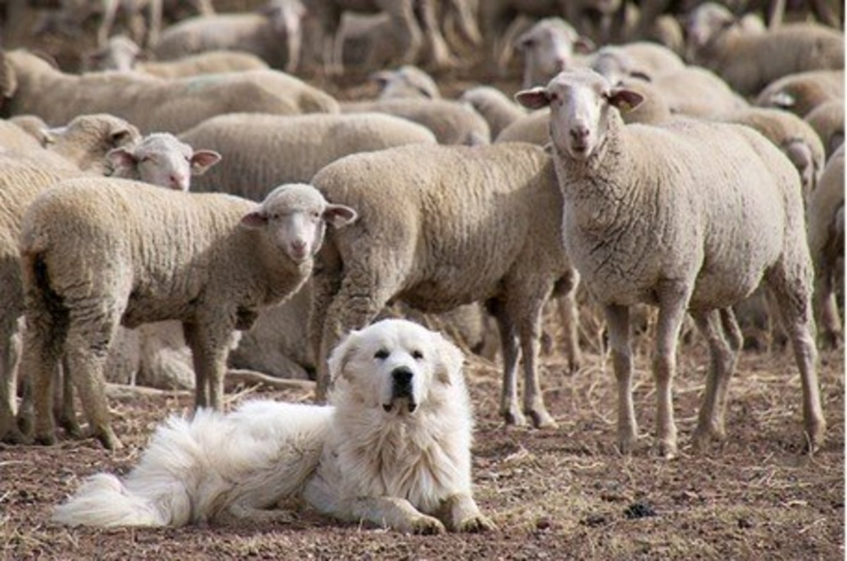 how-to-deal-with-great-pyrenees-barking