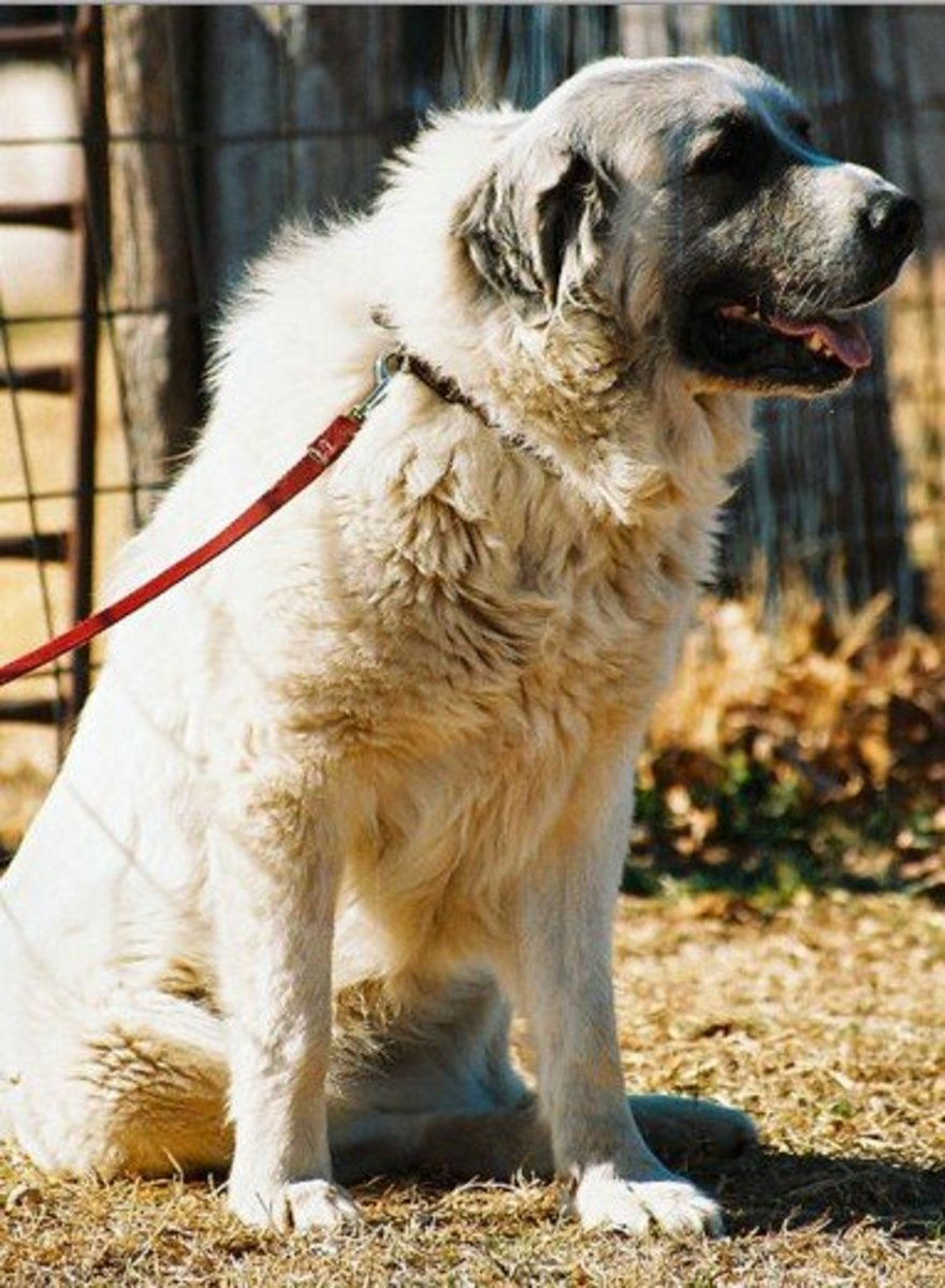 How to Train a Great Pyreneese