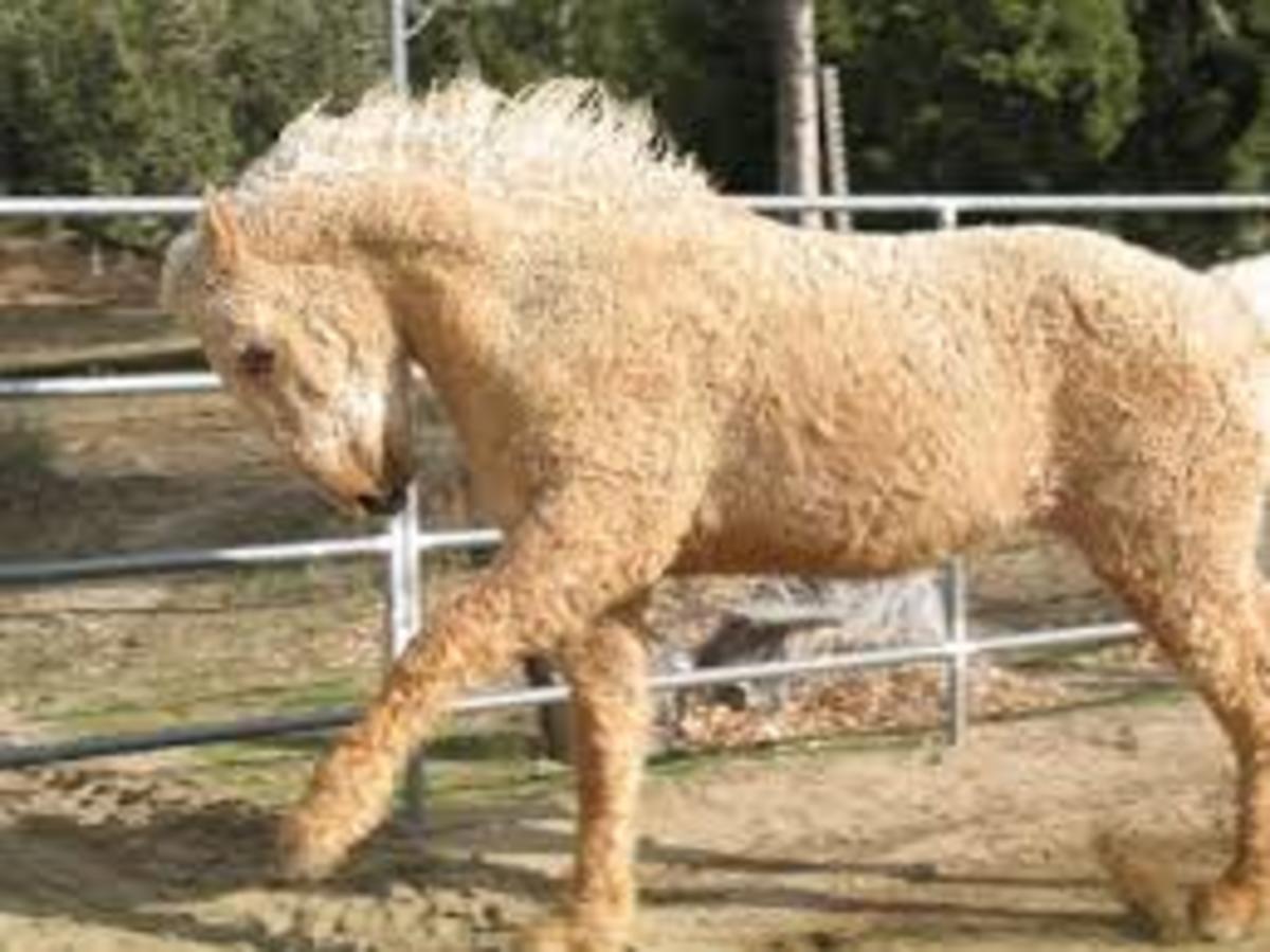 Bashkir Curly