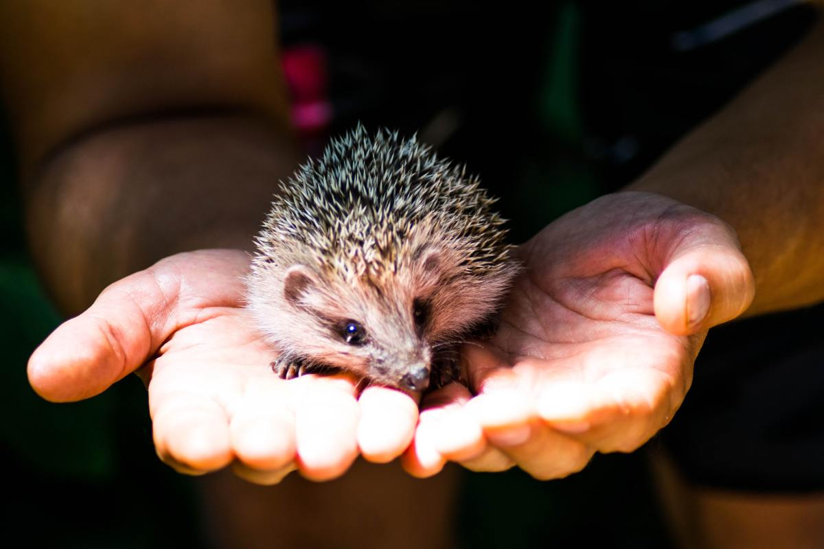 Hedgehogs that are on the defense may only unfurl and calm down when their trusty owner is nearby.