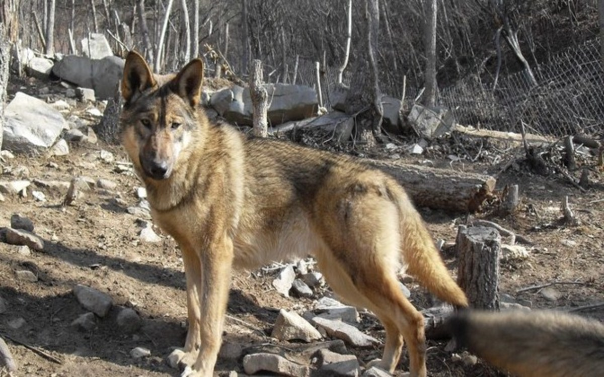 Supposed wolfdog