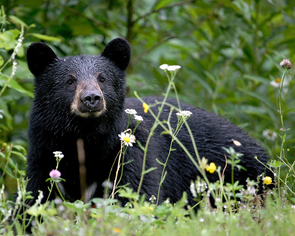 Black Bear: Many fatal attacks are attribute to this species.