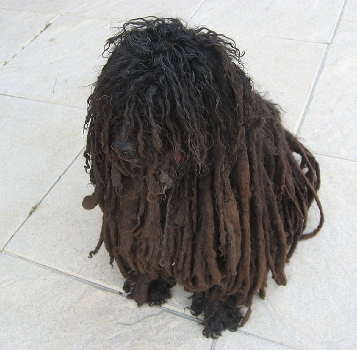 The Hungarian Puli´s coat falls into cords even without special grooming.