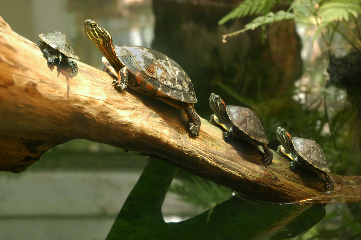 These red-eared sliders look absolutely adorable all lined up on a log together!