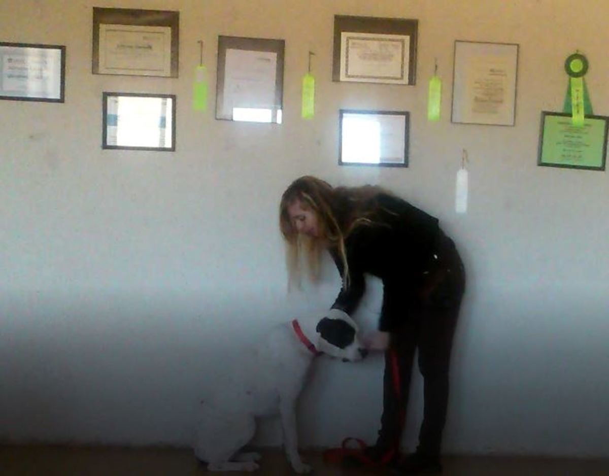 Make it a habit of reinforcing calm behaviors. Here I am snapping the leash on the dog when she is calm and sitting.