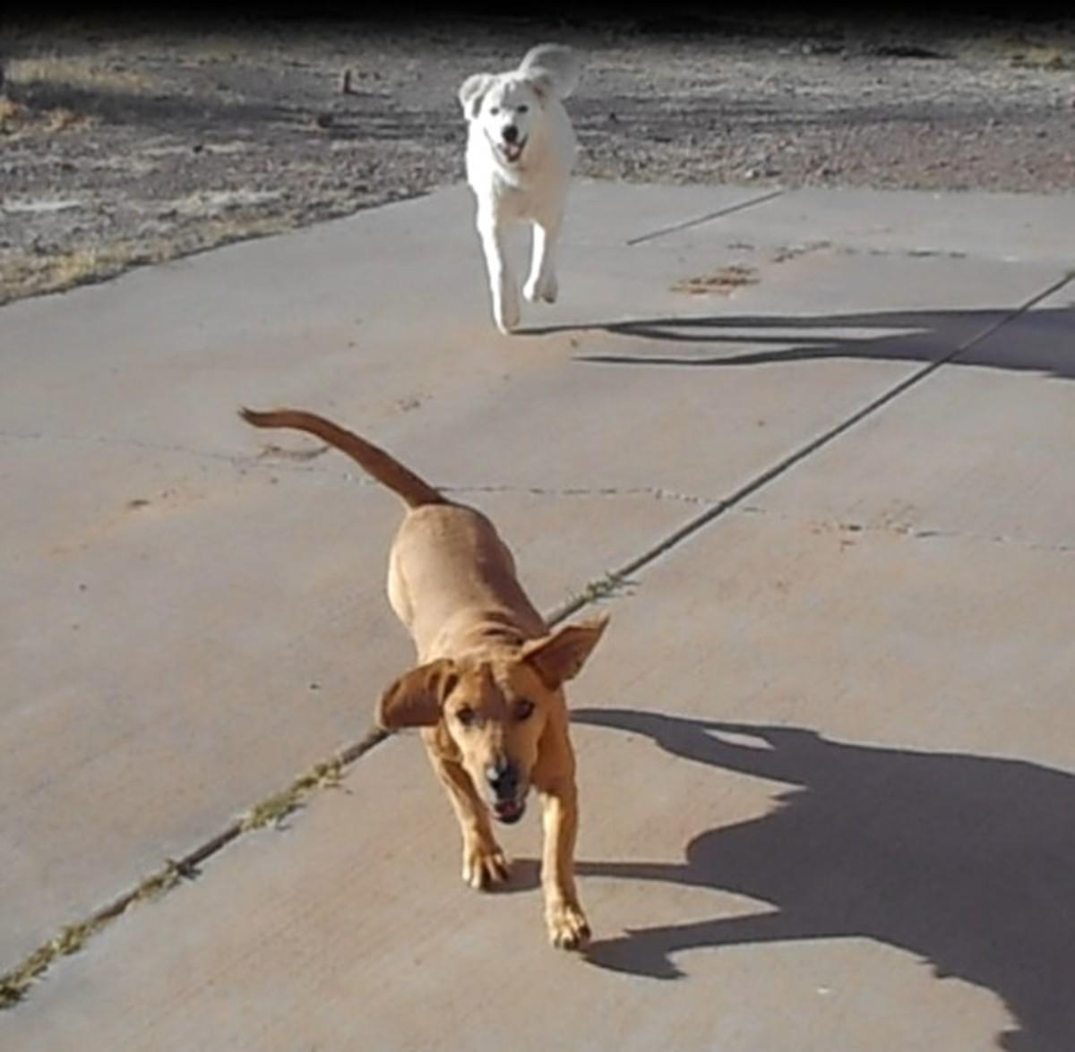 Dogs barking in the yard