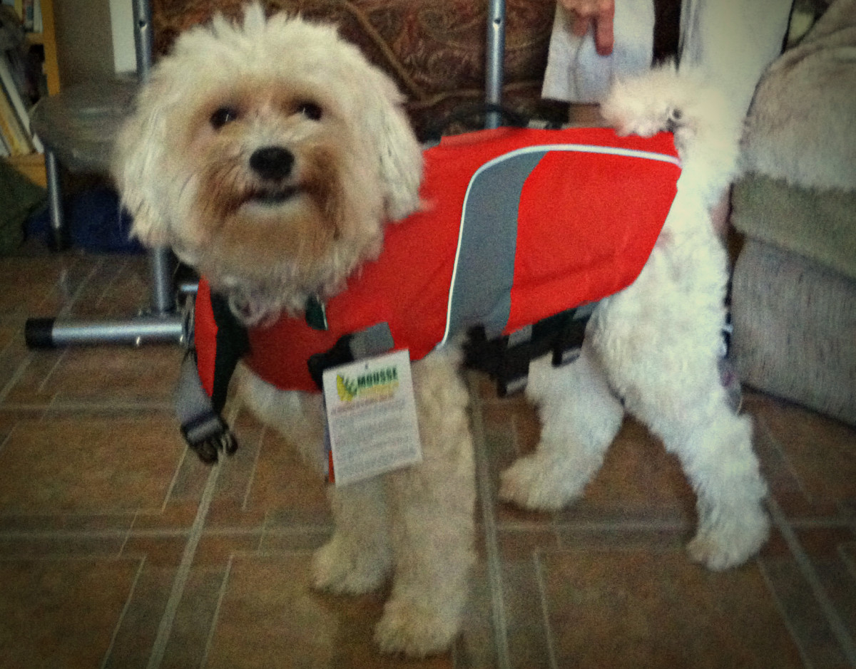 At first, Rufus was a bit confused as to why he had to wear his life jacket around the house. It helps to get your dog comfortable wearing it before heading out in the canoe.