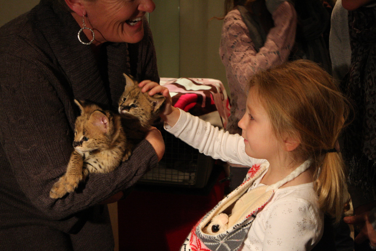 Petting baby servals