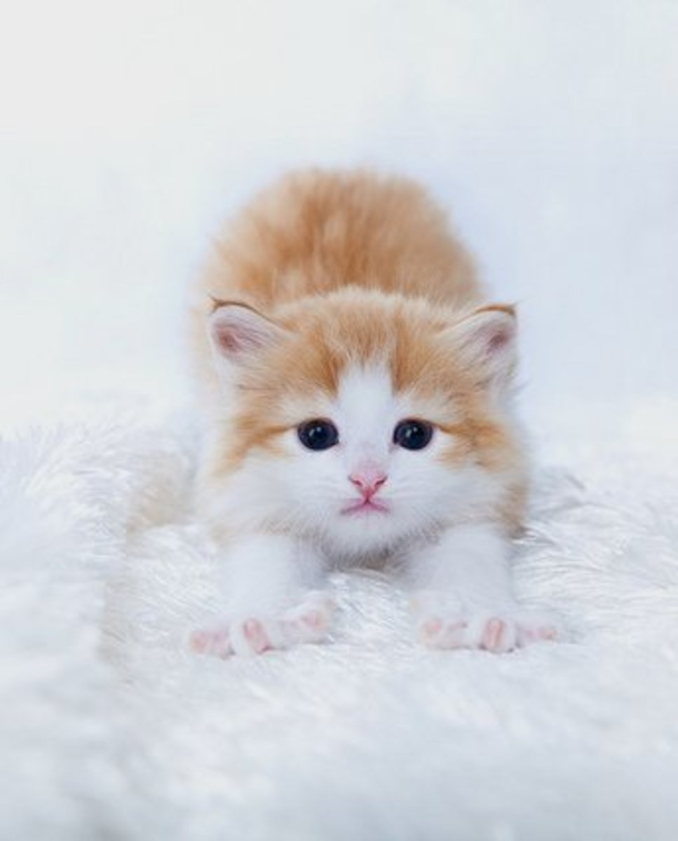 Have you ever wondered just why your kitten licks you so much? Perhaps it's because they think you are THEIR pet!