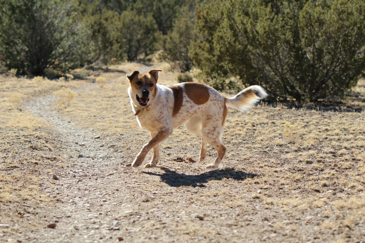 is-an-australian-cattle-dog-right-for-you