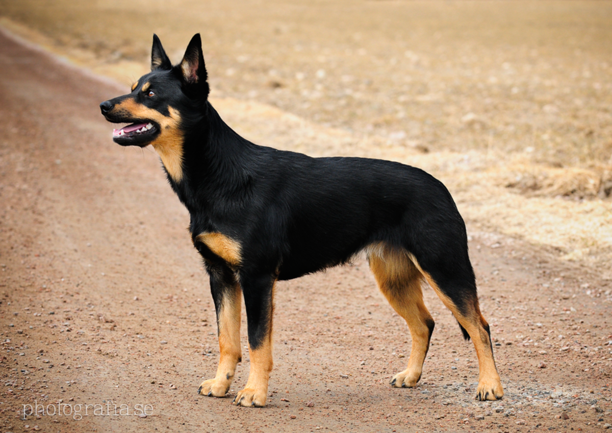 Black and Tan Kelpie