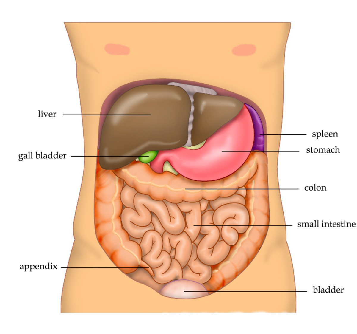 As in dogs, the human spleen is located on the left side of the abdomen near and partially behind the stomach, is covered with a capsule, and contains red pulp and white pulp.