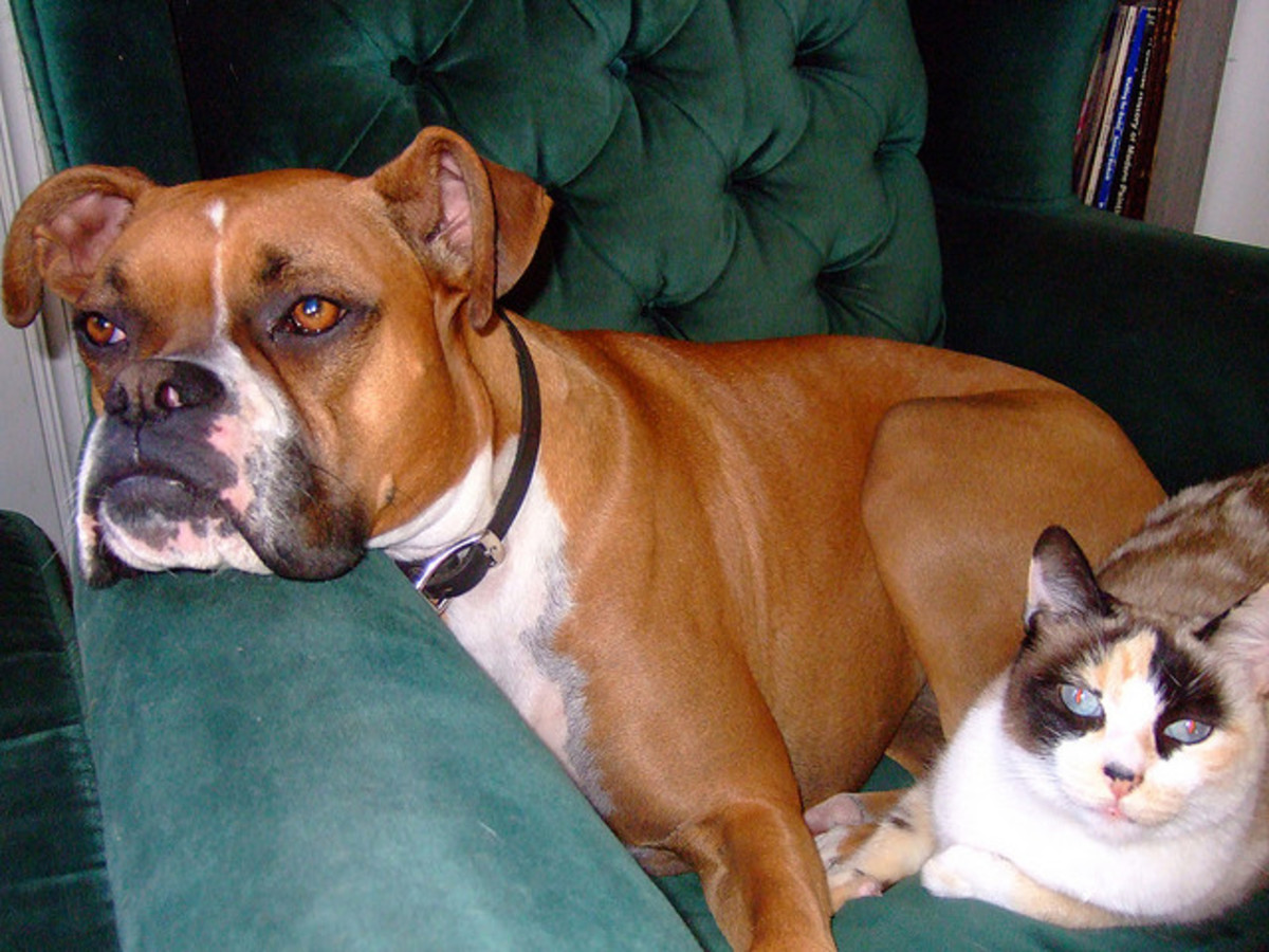 Boxers are friendly and also get along with cats.