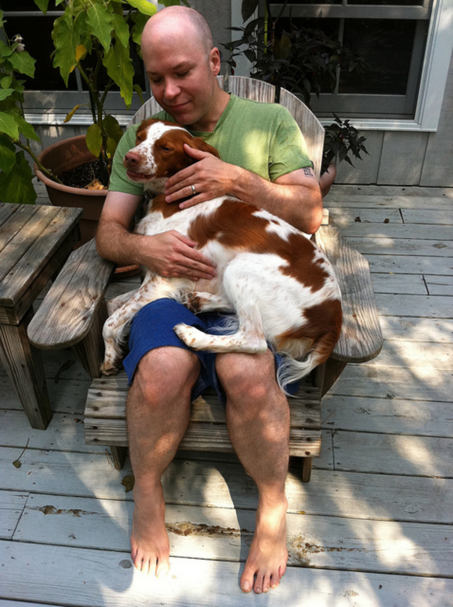 Should the Brittany be classified as a lap dog?