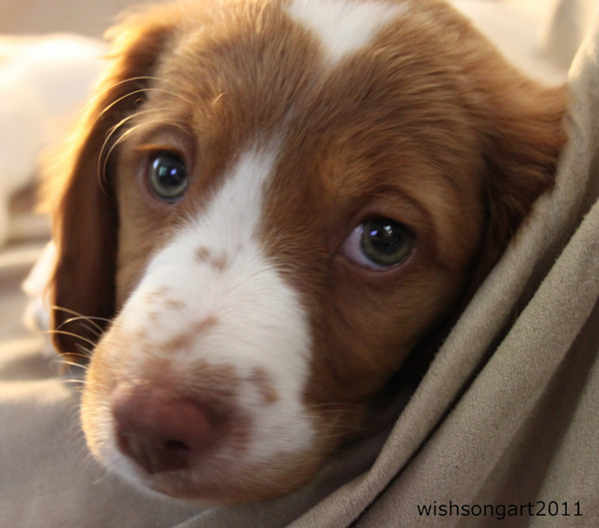 The Brittany Spaniel.