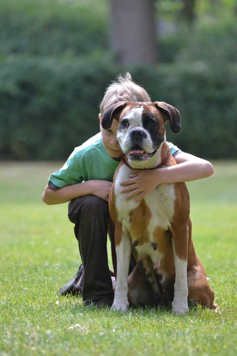 Boxers are another breed with predisposition to CHF