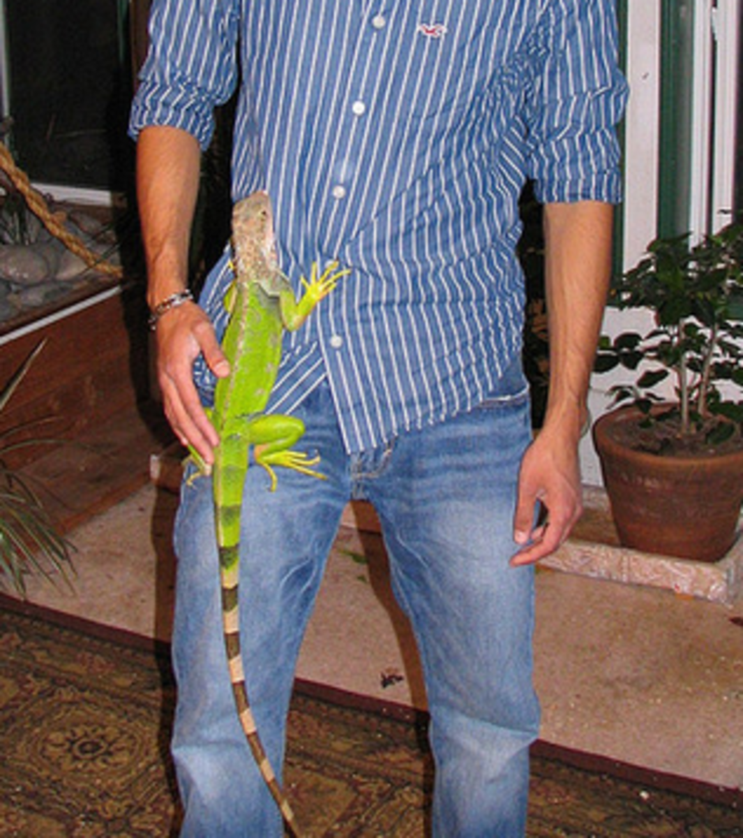 Climbing iguanas can be fun to watch, but be careful of those sharp claws!