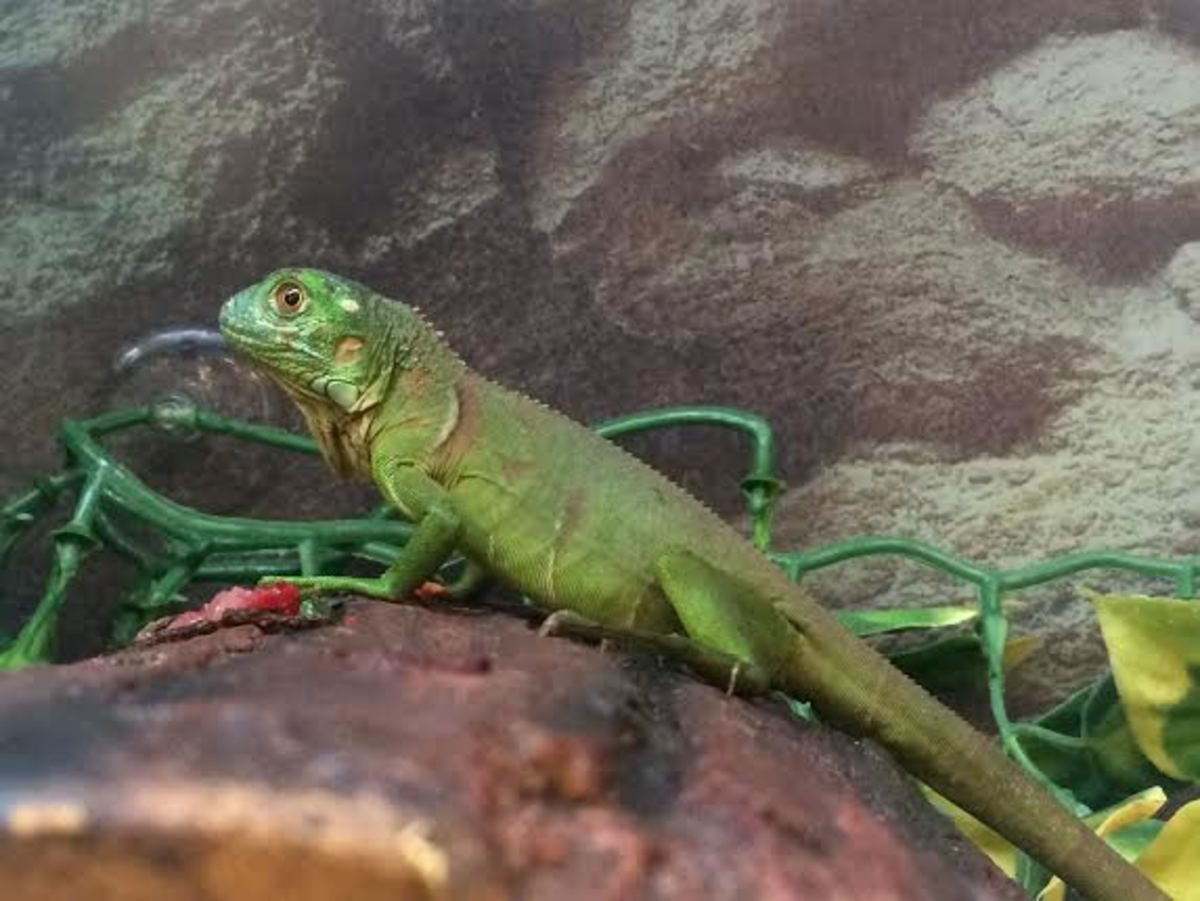 Don't let this baby fool you!  Adult green iguanas can grow up to 6 feet in length, regardless of their environment