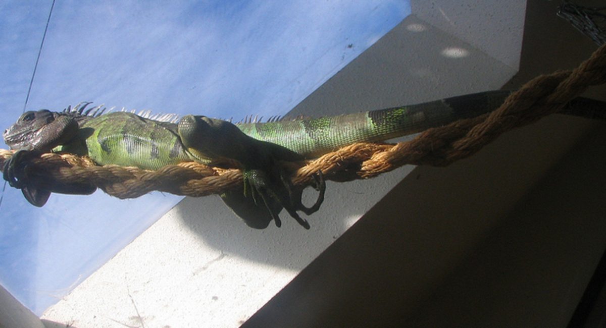 Your iguana will spend most of its adult life lazying away