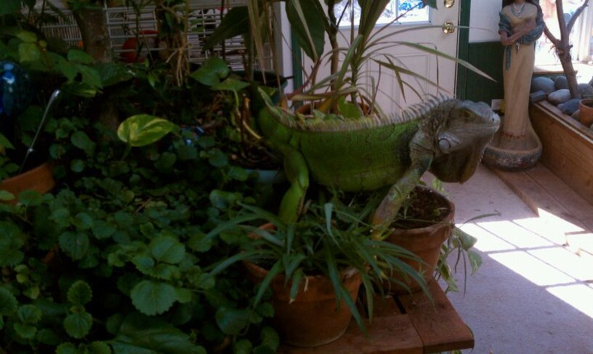 A dedicated sunroom is a wonderful place to house your green iguana