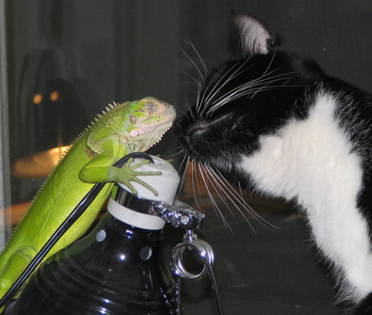 Iguanas--easy to love, but difficult to care for
