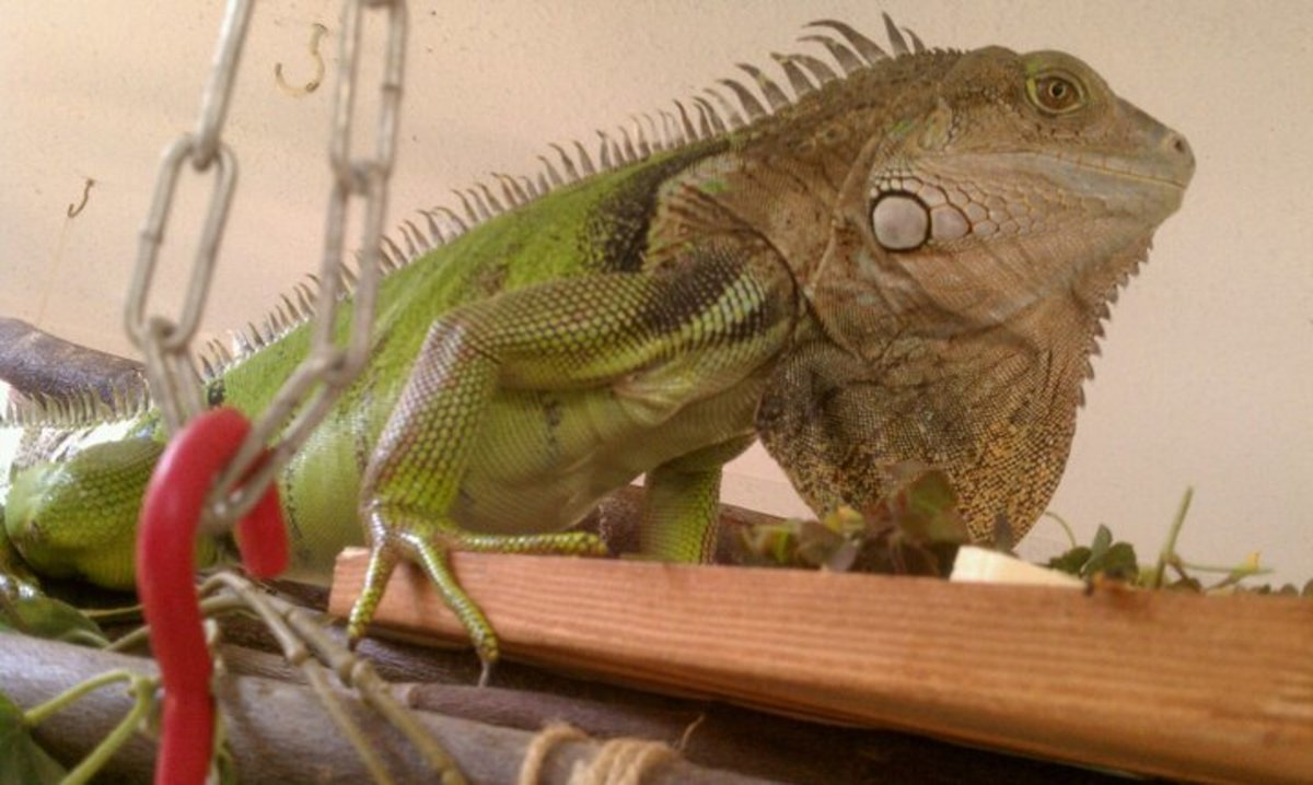 This iguana is old and cranky, as shown with the protuted dewlap