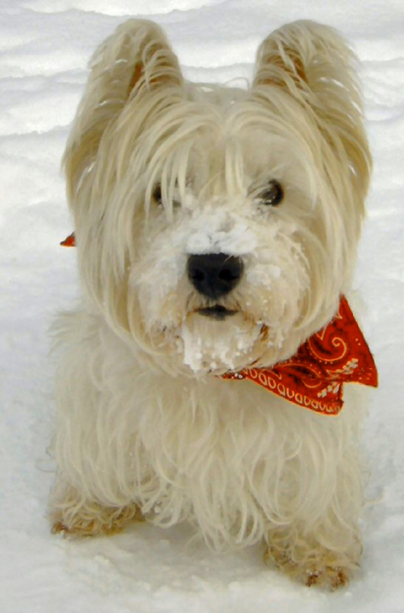 Do you own a Westie? It may be at risk for hypoadrenocorticism.
