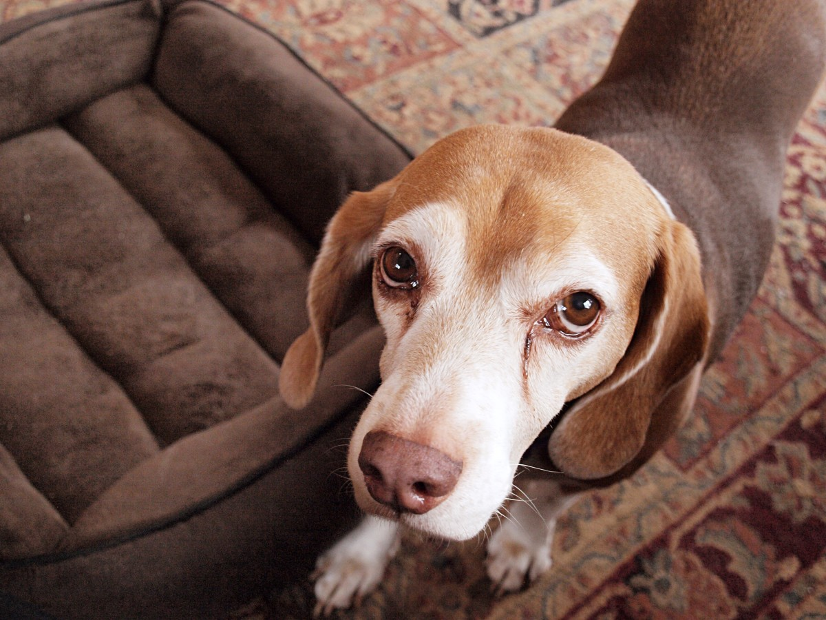 Over-attachment is dysfunctional when the dog feels anxious without its owner.