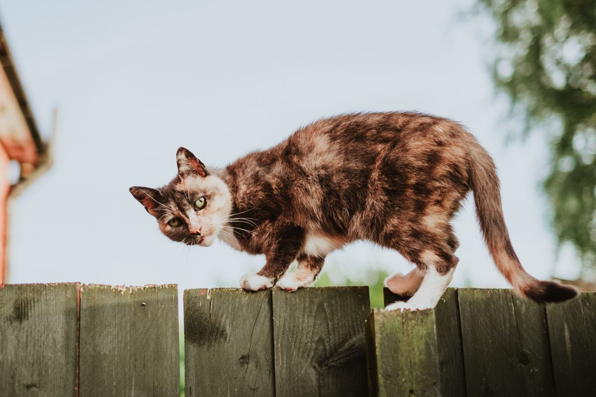 Is there a bully cat in your neighborhood?