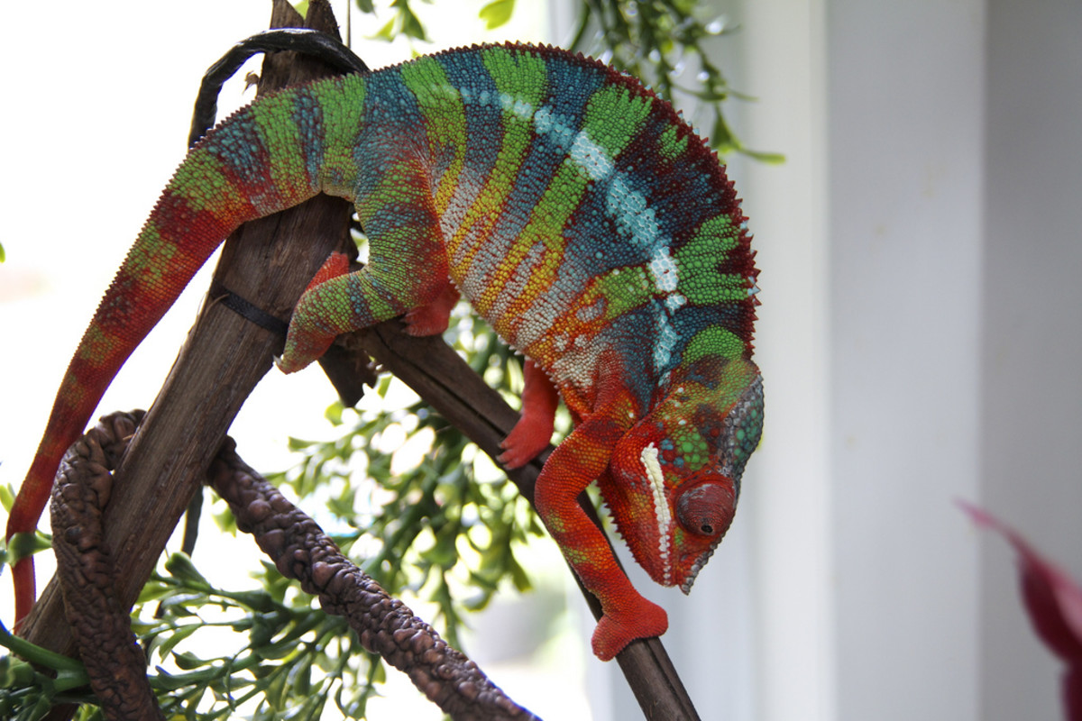 Beautiful Ambilobe panther chameleon