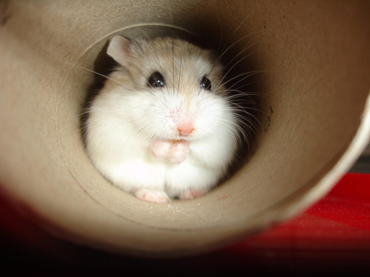 Roborovskii Dwarf Hamster