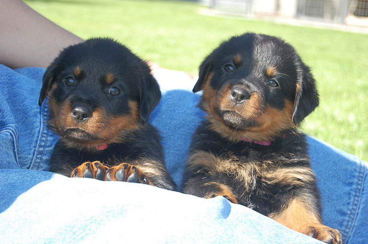 If you decide to get two puppies, make sure you have an alternative home in case they do not get along as they mature.