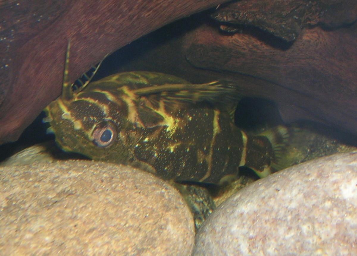Upside Down Catfish