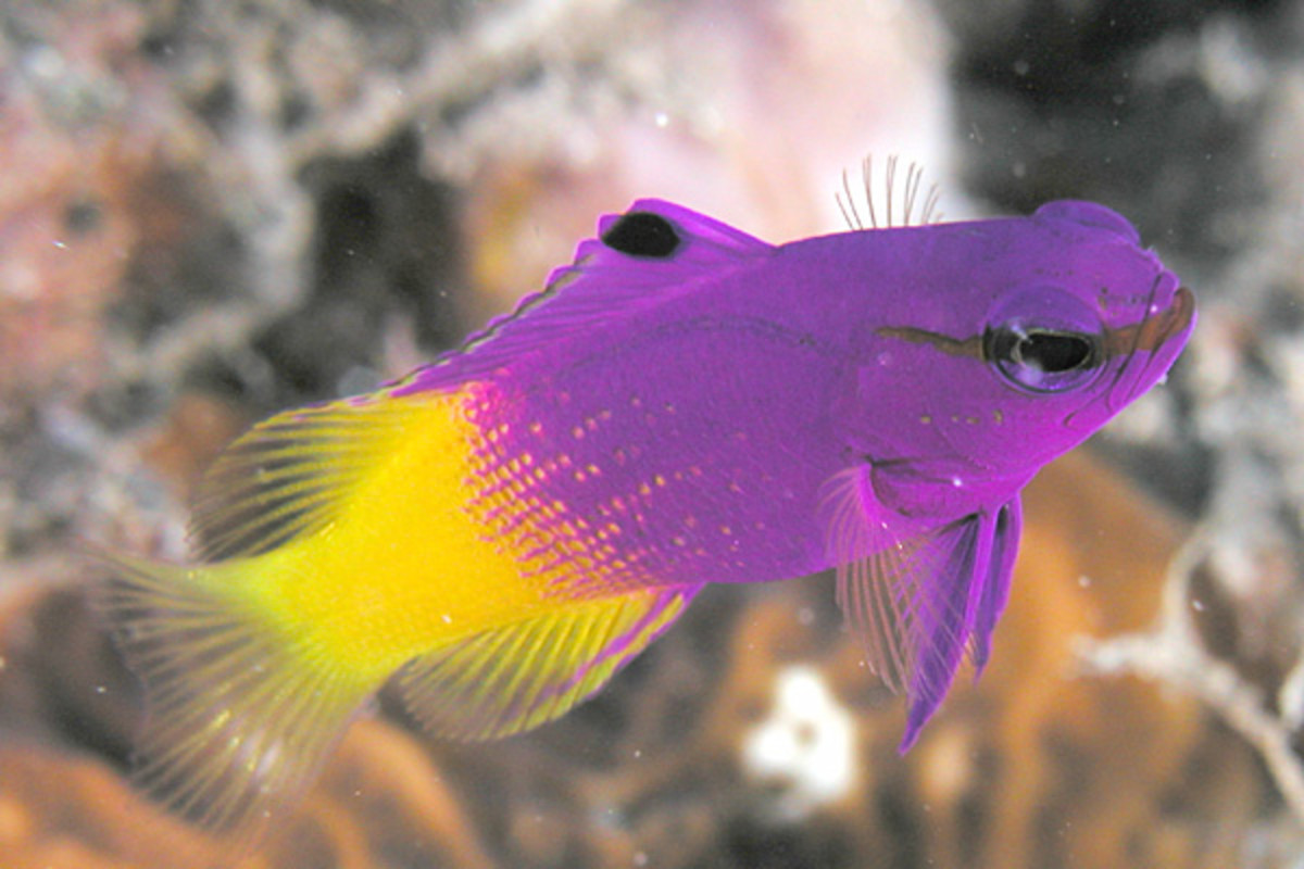 All Royal Grammas have this unique purple and yellow coloration.