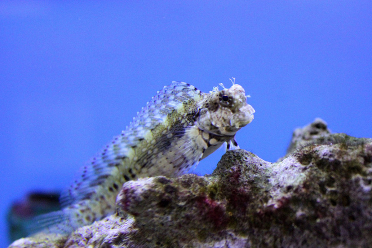Blennies have an extremely unique appearance.
