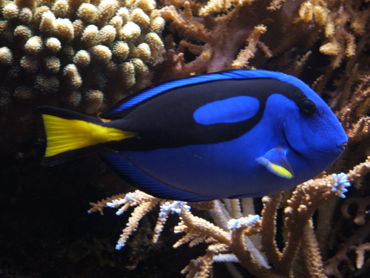 """You might know the Royal Blue Tang better as """"Dory."""""""