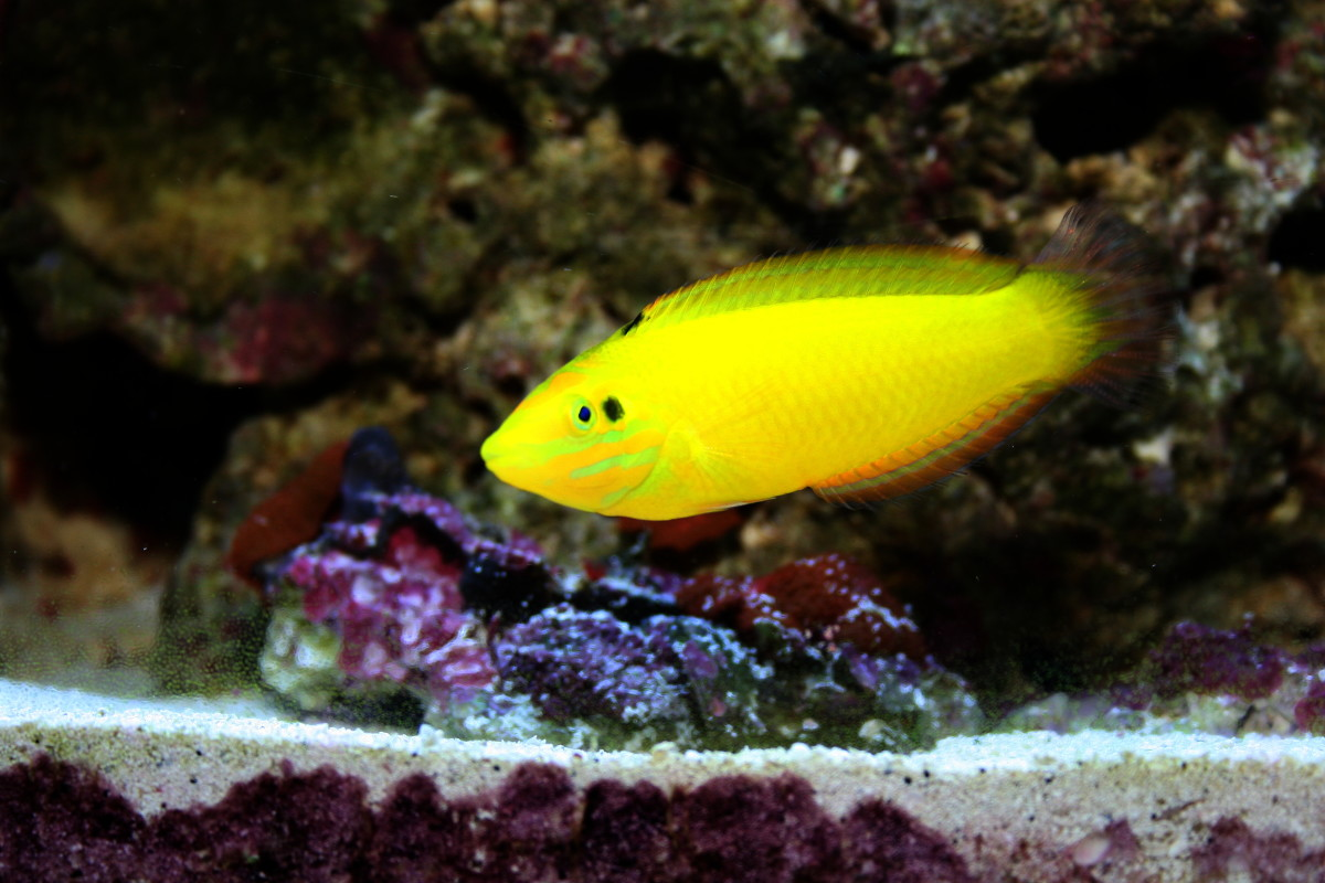 10 great saltwater fish for the home aquarium for Community saltwater fish